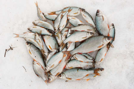 heap of snow: Fresh catch - a lot of fish, mainly roaches, on snow Stock Photo