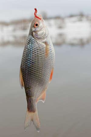 roach: Roach on hook, winter landscape, float fishing
