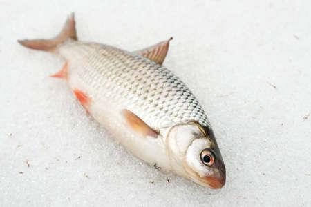 rutilus: Roach lying on snow, late winter catch