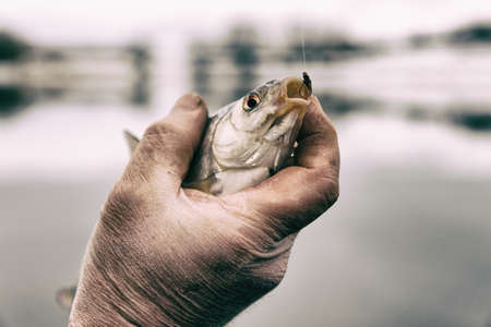 roach: Roach in fishermans hand caught on bloodworm bait, toned image
