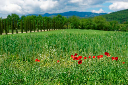 toscana: Grass field with poppies in Italy, Toscana Stock Photo