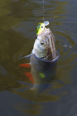 immersed: Chub caught on a plastic bait in muddy water