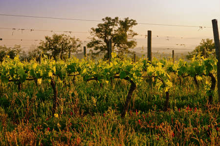 promoted: Organic vineyard in Tuscany, Italy, biodiversity promoted, toned image