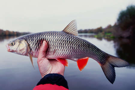 Chub in fishermans hand, late fall catch, toned image