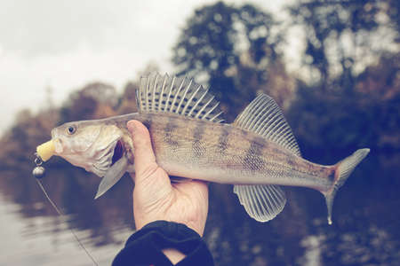 pikeperch: Walleye caught on handmade jig lure, autumn catch, toned image