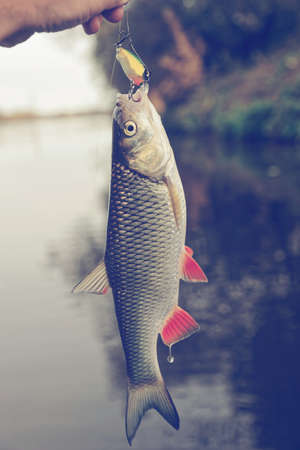 Chub with plastic bait in mouth, lure is of a noname firm, design altered in graphic editor, toned Stock Photo