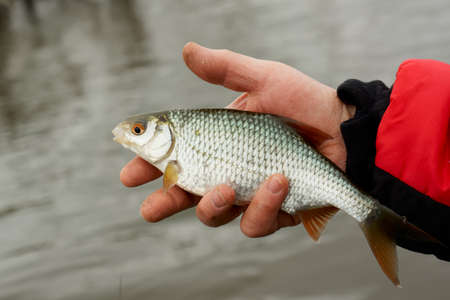 Man is holding roach, early spring float fishing on a river Stock Photo