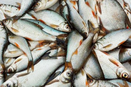 chub: A lot of small fish, close-up shot