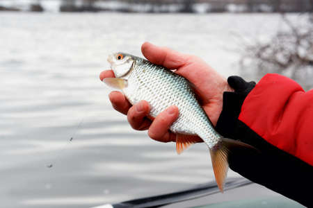 Man is holding roach, early spring float fishing on a river, toned image