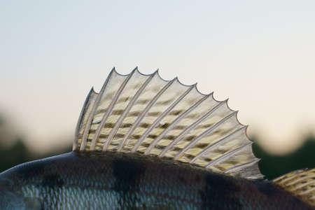 Dorsal fin of a walleye (zander)