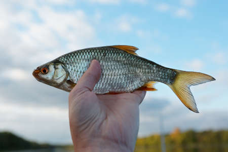 Man is holding roach fish against blue sky Stock Photo