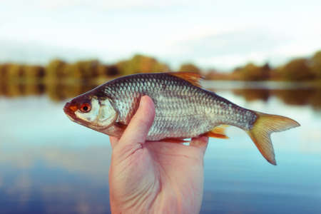 Man is holding roach fish, river in blurred background, toned picture, grain added