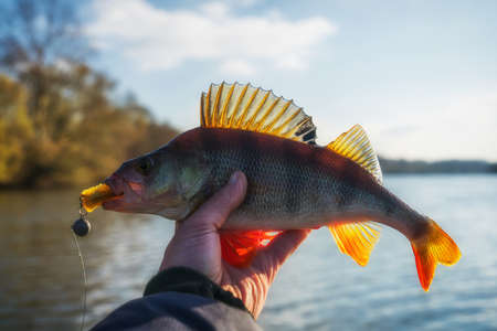 Perch in fishermans hand, autumn time, sunny weather, dreamy toned image