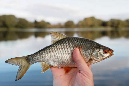 Man is holding roach fish, float fishing trophy, river in blurred background, toned picure