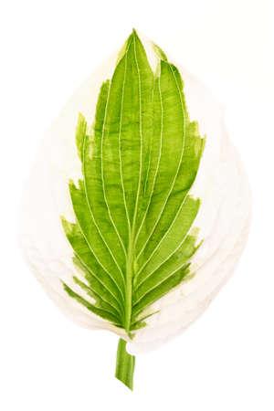 Calla leaf, back light, isolated on white background Foto de archivo