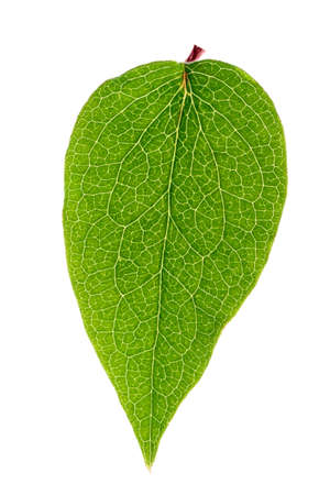 Green leaf isolated on white background, back light