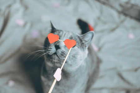 Cute gray cat with red paper hearts. Selective focus.