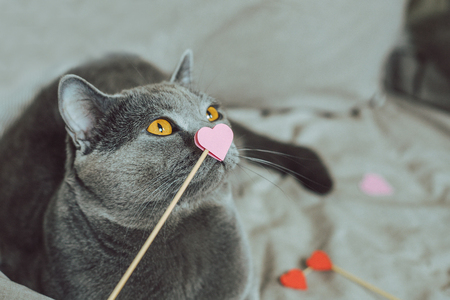 Cute gray cat sitting in bed with pink paper heart. Selective focus with copy space.