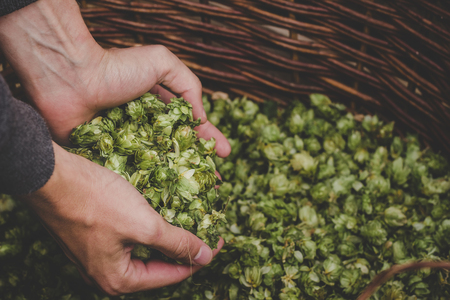 Green hops for beer. Man holding green hop cones.