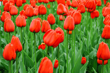 Sea of red tulips with water drops Stock Photo - 10784483