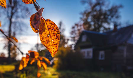 yellow autumn leaves on the background of a village house