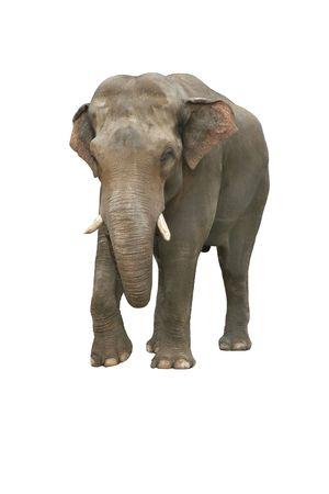 elephant�s: Sad elefante indio sobre un fondo blanco Foto de archivo