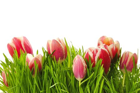 Pink tulips in a green grass on the white isolated background