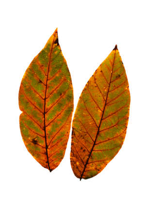 Two colorful bright autumn leaf on a white isolated background.