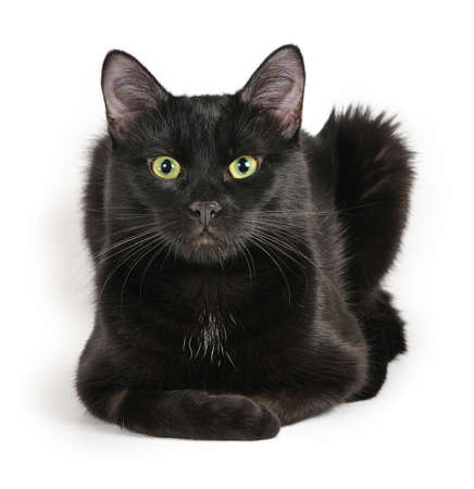 Black cat lying on a white background, looking at camera  photo