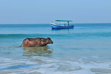 Buffalo and the fishing boat at the ocean  Goa India  photo