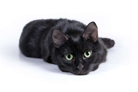 Black cat lying on a white background, looking at camera. Standard-Bild