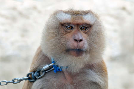 blue collar: The monkey in a blue collar and on a leash from a metal chain looking at the camera.