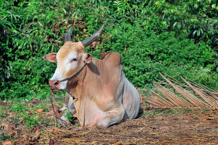 lies: The Indian cow lies on straw against green bushes