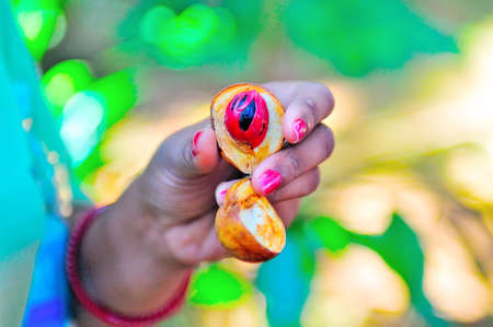 savour: Nutmeg in a womans hand on a blurred background of green plants Stock Photo