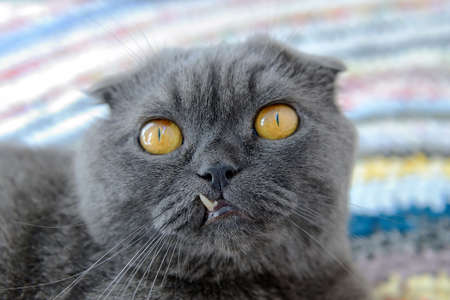 canines: Portrait of a cat of Scottish fold at whom one of canines has incorrectly grown
