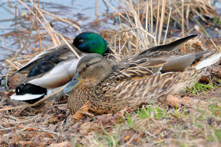 Mallard (Anas platyrhynchos) male and female lying on the grass on the bank of a pond