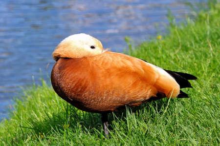 Ruddy shelduck (Tadorna ferruginea) hid his head under his wing on a green grass against a blue pond