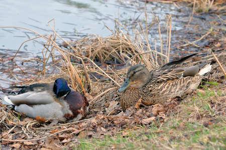 platyrhynchos: Mallard (Anas platyrhynchos) male and female lying on the grass on the bank of a pond