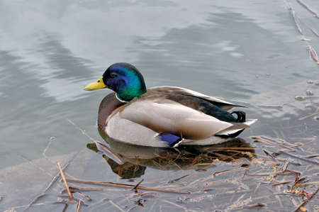 anas platyrhynchos: Mallard (Anas platyrhynchos) male floating on the water. Stock Photo