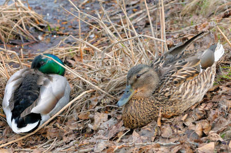 anas platyrhynchos: Mallard Anas platyrhynchos male and female lying on the grass on the bank of a pond Stock Photo