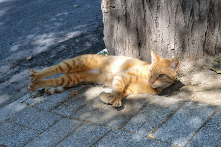 hinder: Red cat lies on a stone pavement having extended hinder legs and having pressed a back to a tree