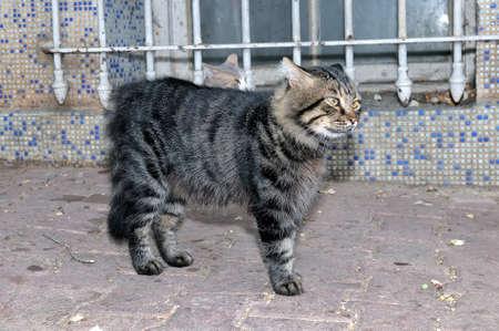gray cat: Fluffy gray striped cat.