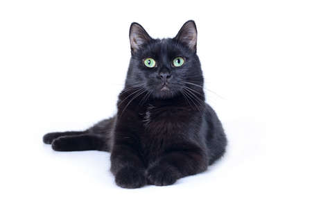 Black cat lying outstretched front paws looking at the camera isolated on white background