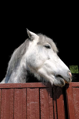 Head of a white horse looks out of the corral on a black background