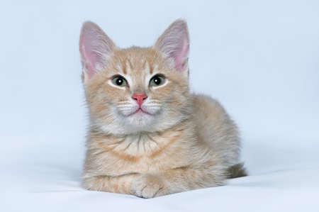 Portrait des netten kleinen roten Kätzchen in die Kamera auf einem grauen Hintergrund suchen