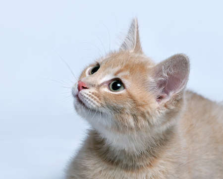 Muzzle of a little red ginger kitten close up on a gray background