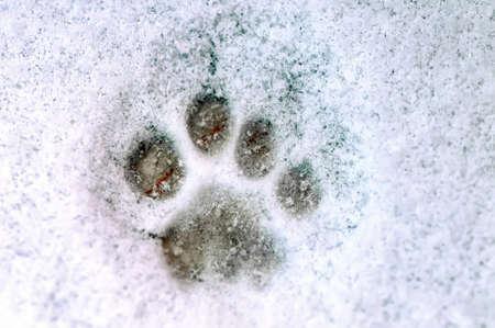 Drucken einer Pfote einer Katze auf weißem Schnee. Nahansicht.