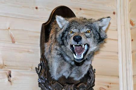 Präparatoren gestopft Wolfs Schnauze mit entblößten Mund und Zähne hängt an einem Holzständer auf einer Holzwand