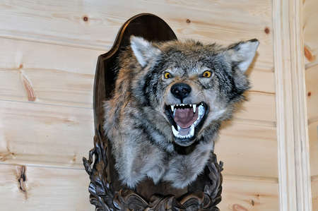 Taxidermy stuffed wolfs muzzle with bared mouth and teeth is hanging on a wooden stand on a wooden wall