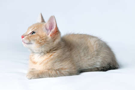 Portrait of a cute little red kitten on a light background Lizenzfreie Bilder